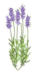 Lavender Plant embroidery design